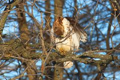 Red-tailed Hawk Buteo jamaicensis. Sits in a bur oak in northern Illinois Stock Photos
