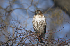Red tailed hawk, Buteo jamaicensis Royalty Free Stock Images