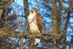 Red-tailed Hawk (Buteo jamaicensis). Sits in a bur oak in northern Illinois Royalty Free Stock Image