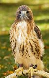 Red-Tailed Hawk (Buteo jamaicensis) Sits on Perch Stock Photos