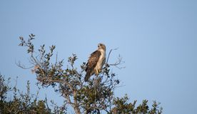 Red Tailed Hawk Buteo jamaicensis Sitting in the Treetop. Red-tailed Hawk Buteo jamaicensis sitting in the treetop in a California native oak tree in San Diego Royalty Free Stock Image