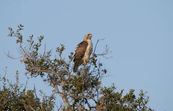 Red Tailed Hawk Buteo jamaicensis Sitting in the Treetop. Red-tailed Hawk Buteo jamaicensis sitting in the treetop in a California native oak tree in San Diego Stock Image