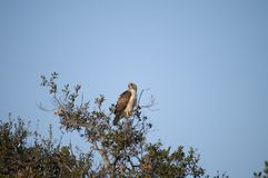Red Tailed Hawk Buteo jamaicensis Sitting in the Treetop. Red-tailed Hawk Buteo jamaicensis sitting in the treetop in a California native oak tree in San Diego Stock Photos