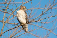 Red-tailed Hawk - Buteo jamaicensis. A young, first winter Red-tailed Hawk perched up in a tree looking down to the ground for potential prey. Tommy Thompson stock photography