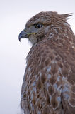 Red tailed hawk calic Stock Photo
