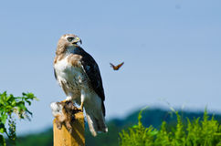 Red-Tailed Hawk With Captured Prey Royalty Free Stock Images