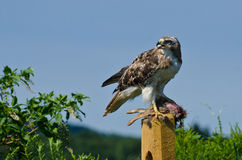 Red-Tailed Hawk With Captured Prey Stock Photography