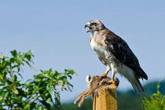 Red-Tailed Hawk With Captured Prey Royalty Free Stock Image