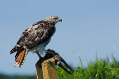 Red-Tailed Hawk With Captured Prey Stock Photos