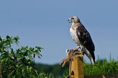Red-Tailed Hawk With Captured Prey Royalty Free Stock Photos