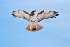 Red-Tailed Hawk Carrying Prey Stock Image