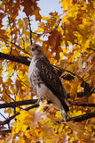 Red-tailed Hawk in Central Park. A red-tailed hawk is perched on a branch in Central Park during autumn Stock Photography
