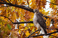 Red-tailed Hawk in Central Park. A red-tailed hawk is perched on a branch in Central Park during autumn among colorful leaves Stock Photos