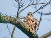 Red Tailed Hawk, Central Park, NYC stock photo