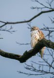 Red Tailed Hawk, Central Park, NYC stock photography