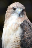 Red Tailed Hawk Close Up. A close up of a red tailed hawk Royalty Free Stock Photo