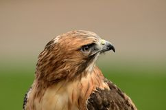 Red Tailed Hawk Close Up Stock Photography