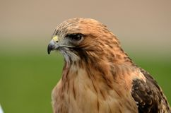 Red Tailed Hawk Close Up 5 Stock Images