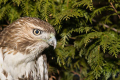 Red-tailed Hawk. A close-up of a Red-tailed Hawk Stock Photography