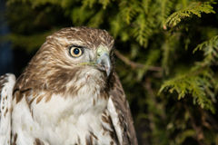 Red-tailed Hawk. A close-up of a Red-tailed Hawk Stock Photos