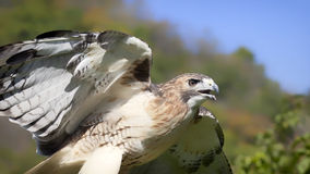 Red-tailed hawk. Close up image of a red-tailed hawk, with wings outstretched Royalty Free Stock Images