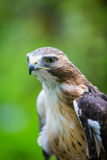 Red Tailed Hawk Close Up Stock Image