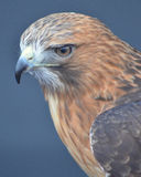Red-tailed Hawk close-up Stock Images