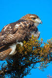 Red-Tailed Hawk Stock Image