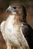 Red Tailed Hawk Closeup. Red Tailed Hawk Profile Royalty Free Stock Photos