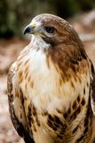 Red Tailed Hawk CloseUp Stock Images