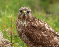 Red-tailed Hawk Closeup (Buteo jamaicensis) Royalty Free Stock Images