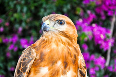 Red-Tailed Hawk. Closeup. Royalty Free Stock Image