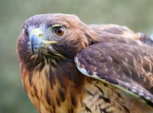 Red Tailed Hawk - Closeup Portrait. Closeup portrait of a red tailed hawk Stock Photography