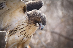 Red-tailed Hawk. A detailed close up portrait of a Redtail Hawk Stock Photo