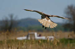 Red-Tailed Hawk Diving on its Prey Stock Image
