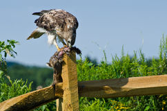 Red-Tailed Hawk Eating Captured Rabbit Stock Photography
