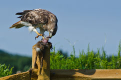 Red-Tailed Hawk Eating Captured Rabbit Royalty Free Stock Images