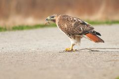 Red-tailed Hawk. Eating a snake on a path. Don Valley Brickworks Park, Toronto, Ontario, Canada stock image