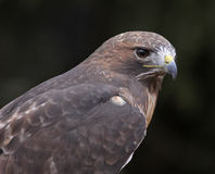 Red-tailed Hawk Face Royalty Free Stock Photo