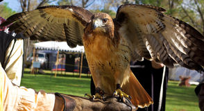 Red tailed Hawk Stock Photos