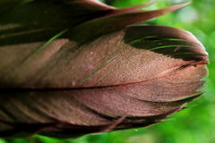 Red Tailed Hawk Feather Royalty Free Stock Photos