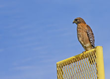 Red Tailed Hawk on the fence Royalty Free Stock Image