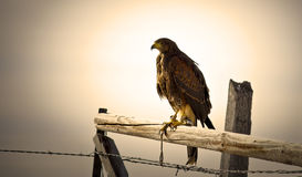 Red tailed hawk on fence post Stock Photo