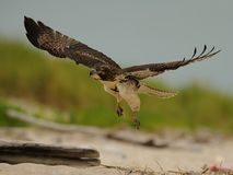 Red-Tailed hawk in flight Royalty Free Stock Photos