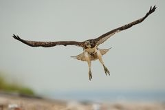 Red Tailed hawk in flight Stock Images