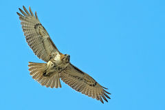 Red-Tailed Hawk. In Flight Stock Image