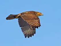 Red-Tailed Hawk Stock Photography