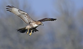 Red tailed hawk in flight Royalty Free Stock Images