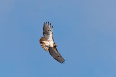Red-tailed Hawk. In Flight Royalty Free Stock Images