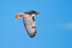 Red-Tailed Hawk in Flight Across Blue Sky Stock Photography